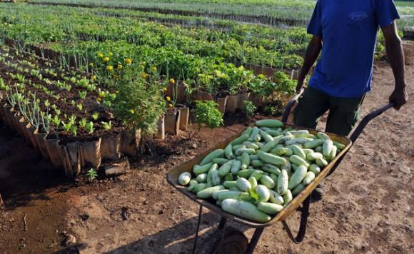 cuba-agricultura-urbana2-580x3561 COOPERATIVES AGRICOLES
